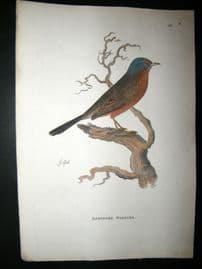 Shaw C1800's Antique Hand Col Bird Print. Dartford Warbler