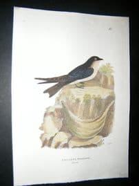 Shaw C1800's Antique Hand Col Bird Print. Esculent Swallow