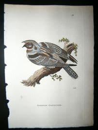 Shaw C1800's Antique Hand Col Bird Print. European Goatsucker