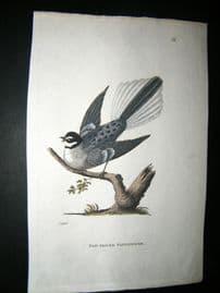 Shaw C1800's Antique Hand Col Bird Print. Fan Tailed Flycatcher