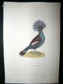 Shaw C1800's Antique Hand Col Bird Print. Goura Coronata. Philippines Native