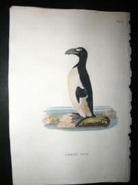 Shaw C1800's Antique Hand Col Bird Print. Great Auk (Extinct)