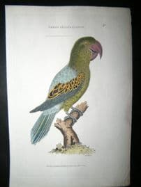 Shaw C1800's Antique Hand Col Bird Print. Great Billed Parrot