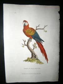 Shaw C1800's Antique Hand Col Bird Print. Great Scarlet Maccaw Parrot
