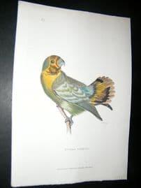 Shaw C1800's Antique Hand Col Bird Print. Guinea Parrot