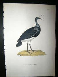 Shaw C1800's Antique Hand Col Bird Print. Horned Screamer