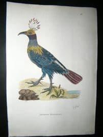 Shaw C1800's Antique Hand Col Bird Print. Impeyan Monaulus