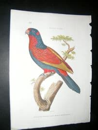 Shaw C1800's Antique Hand Col Bird Print. Indian Lory Parrot