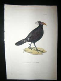 Shaw C1800's Antique Hand Col Bird Print. Lophyrus Cuvieri