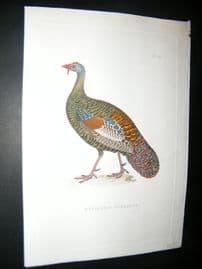 Shaw C1800's Antique Hand Col Bird Print. Meleagris Ocellata. Turkey