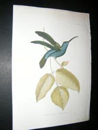 Shaw C1800's Antique Hand Col Bird Print. Melisuga Falcata Hummingbird