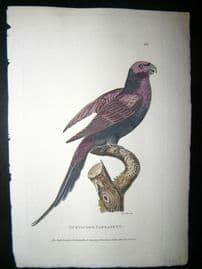 Shaw C1800's Antique Hand Col Bird Print. Mustache Parakeet
