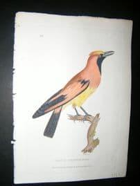 Shaw C1800's Antique Hand Col Bird Print. Orange Paradise Bird