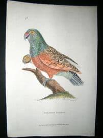 Shaw C1800's Antique Hand Col Bird Print. Paradise Parrot