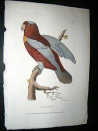 Shaw C1800's Antique Hand Col Bird Print. Raja Lory Parrot