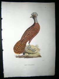 Shaw C1800's Antique Hand Col Bird Print. Red Curassow