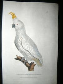 Shaw C1800's Antique Hand Col Bird Print. Smaller Sulpher Crested Cockatoo
