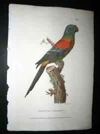 Shaw C1800's Antique Hand Col Bird Print. Solstitial Parakeet