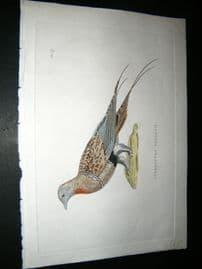 Shaw C1800's Antique Hand Col Bird Print. Syrrhaptes Pallasii
