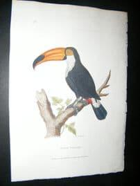 Shaw C1800's Antique Hand Col Bird Print. Toco Toucan
