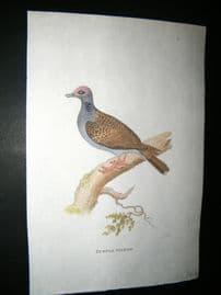 Shaw C1800's Antique Hand Col Bird Print. Turtle Pigeon