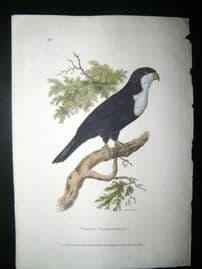 Shaw C1800's Antique Hand Col Bird Print. Violet Parrakeet
