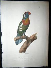 Shaw C1800's Antique Hand Coloured Bird Print. Variegated Parrakeet