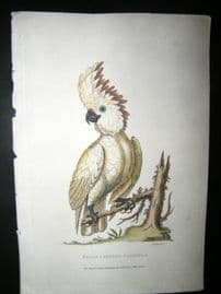 Shaw C1800's Hand Col Bird Print. Broad Crested Cockatoo after George Edwards