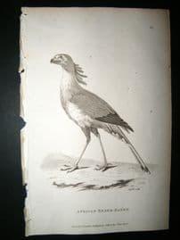 Shaw C1810 Antique Bird Print. African Snake Eater