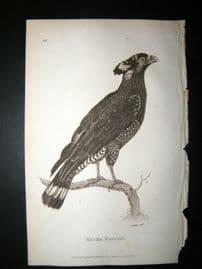 Shaw C1810 Antique Bird Print. Bacha Falcon