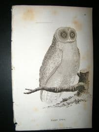 Shaw C1810 Antique Bird Print. Barn Owl