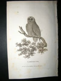Shaw C1810 Antique Bird Print. Cayenne Owl