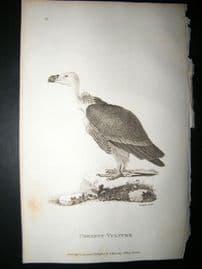 Shaw C1810 Antique Bird Print. Chestnut Vulture