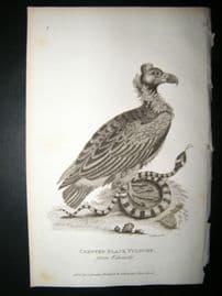 Shaw C1810 Antique Bird Print. Crested Black Vulture