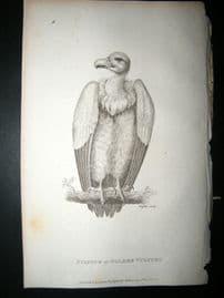 Shaw C1810 Antique Bird Print. Fulvous Or Golden Vulture