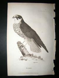 Shaw C1810 Antique Bird Print. Hobby