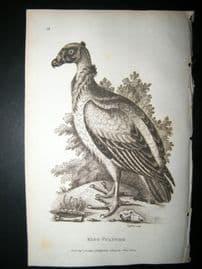 Shaw C1810 Antique Bird Print. King Vulture
