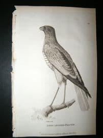 Shaw C1810 Antique Bird Print. Long Legged Falcon