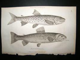 Shaw C1810 Antique Fish Print. Alpine Trout