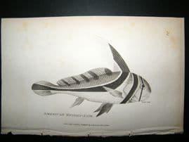 Shaw C1810 Antique Fish Print. American Knight-Fish