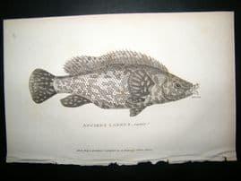 Shaw C1810 Antique Fish Print. Anciet Labru's