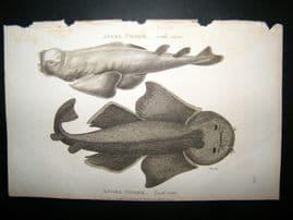 Shaw C1810 Antique Fish Print. Angel Shark (Side & Back View)