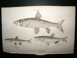 Shaw C1810 Antique Fish Print. Barbel, Minow & Blaek