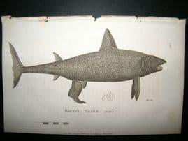 Shaw C1810 Antique Fish Print. Basking Shark (male)