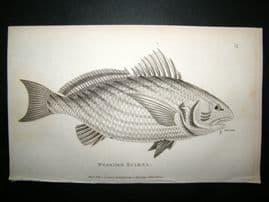 Shaw C1810 Antique Fish Print. Bearded Sciaena