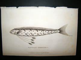 Shaw C1810 Antique Fish Print. Blochian Gymnetrus