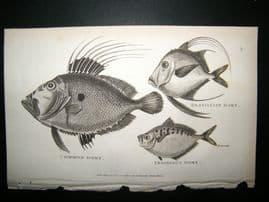 Shaw C1810 Antique Fish Print. Brasillian, Common & Insidious Dory, John Dory