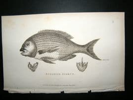 Shaw C1810 Antique Fish Print. Bufonite Sparus