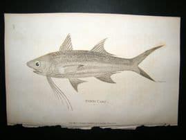 Shaw C1810 Antique Fish Print. Bynni Carp