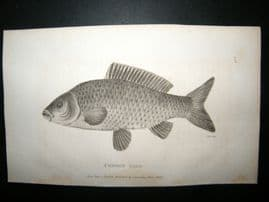 Shaw C1810 Antique Fish Print. Common carp
